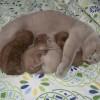 wunderschöne BKH Kitten/ Babys